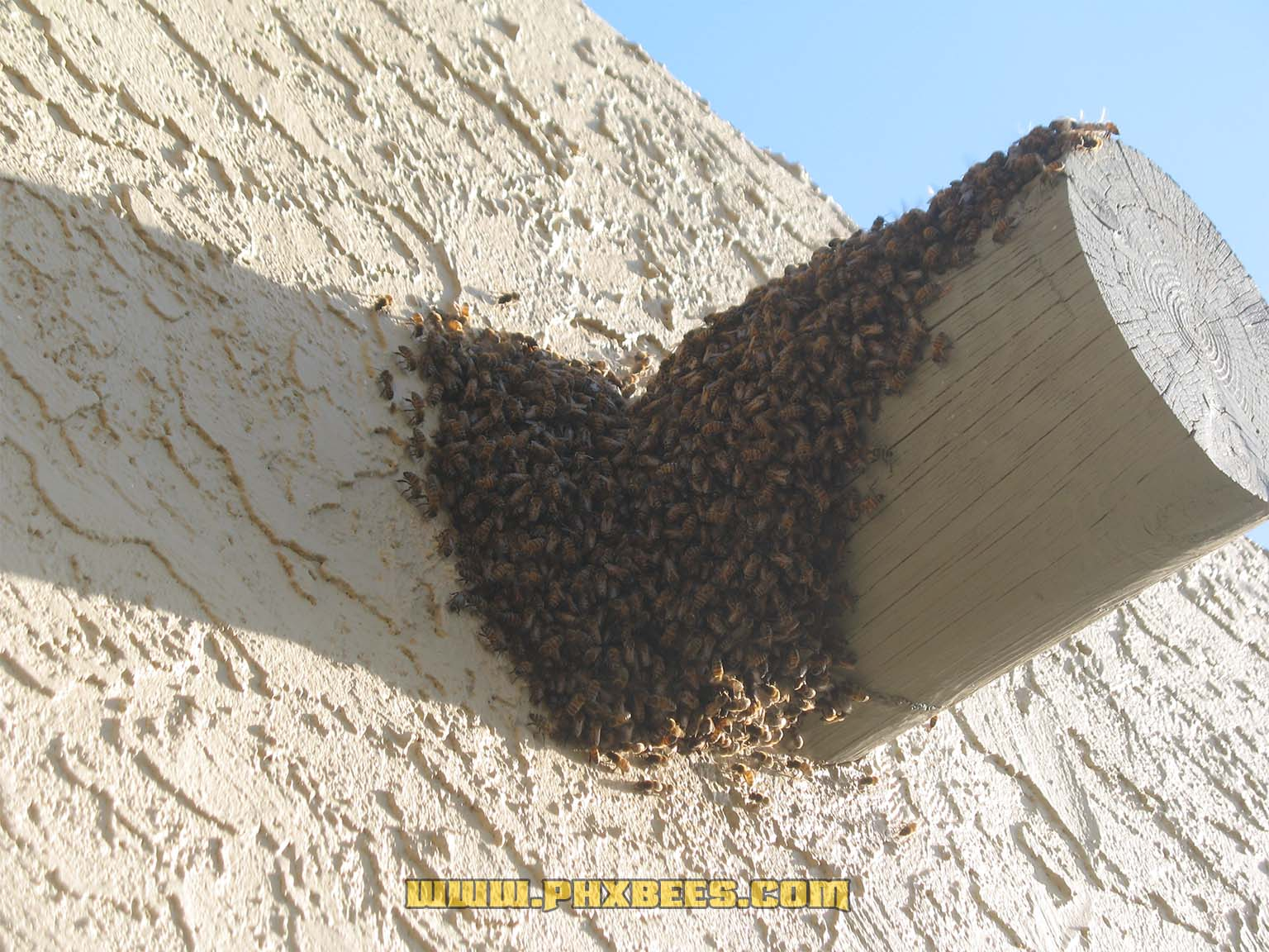 Bees on a viga log moving in