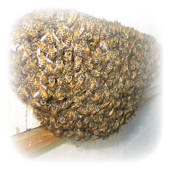 Africanized Honey Bee Swarm On A Window Ledge